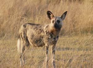 Wild dog in Moremi Game Reserve