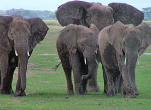 Elephants in Tsavo