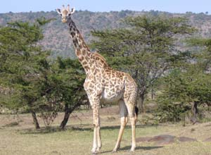 Giraffe on safari in Mara