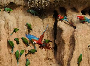 Macaw lick at Heath rainforest, Peru
