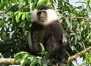 Colobus monkey in Nyungwe forest