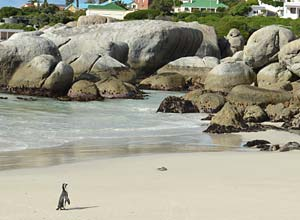 Penguin at Boulders Beach, near Cape Town