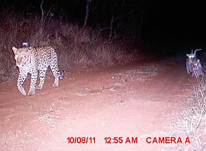 Leopard captured in camera trap