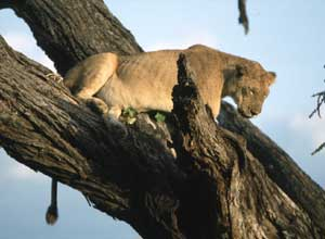 A tree-climbing lion in Lake Manyara National Park