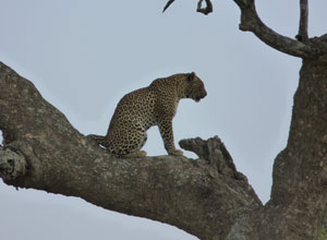 You should see big cats in the Serengeti