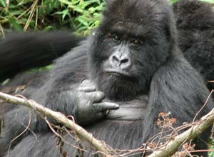 Mountain gorilla at Bwindi