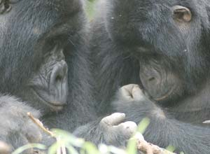 Gorillas in Bwindi Impenetrable Forest
