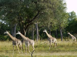 Giraffes in South Luangwa, Zambia