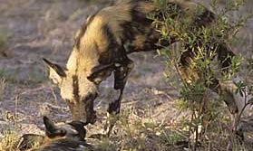 Watching Wild Dogs