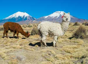 Alpacas in Sajama National Park