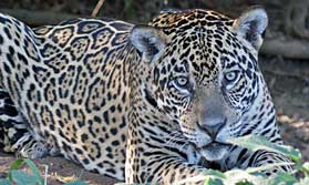 Jaguar safari in the Pantanal, Brazil