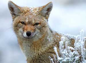 Grey fox in Patagonia