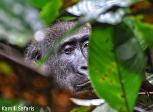 See western lowland gorillas