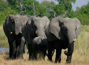 Elephants in Moremi Game reserve