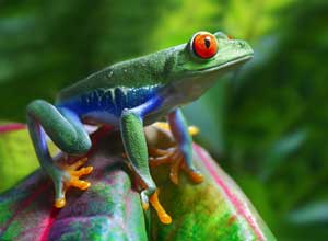 See frogs in Monteverde Cloudforest