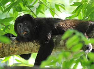 Look for howler monkeys in the forest