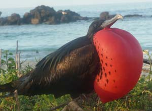Great Frigatebird, Galapagos Islands