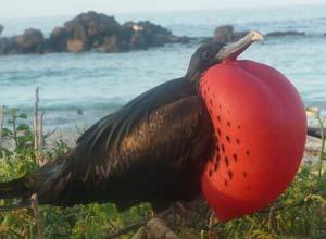 Great Frigatebird, Galapagos Islands
