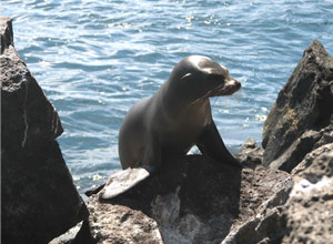 Sea lion pup at Prince Philip's Steps