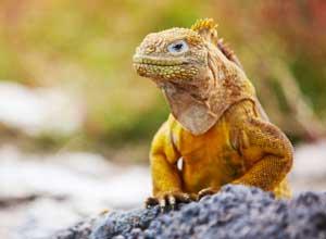 Land iguana on Santa Fe