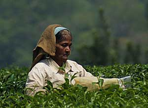 Tea Picking, India