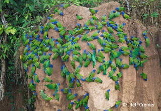 Parakeets on clay lick