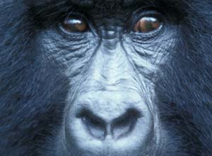 Go trekking for mountain gorillas