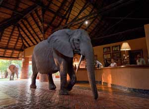 Elephant walking through Mfuwe Lodge reception