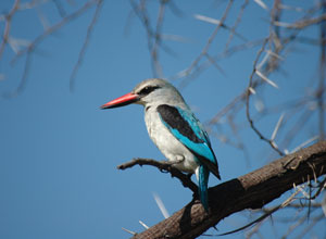 Woodland Kingfisher in South Luangwa