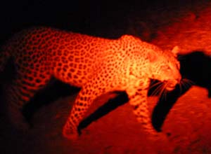 Leopard on night safari in Lower Zambezi, Zambia