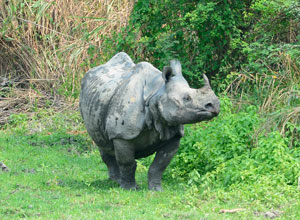 One horned rhino in Kaziranga