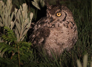 Owl on a night drive at Chelinda Lodge
