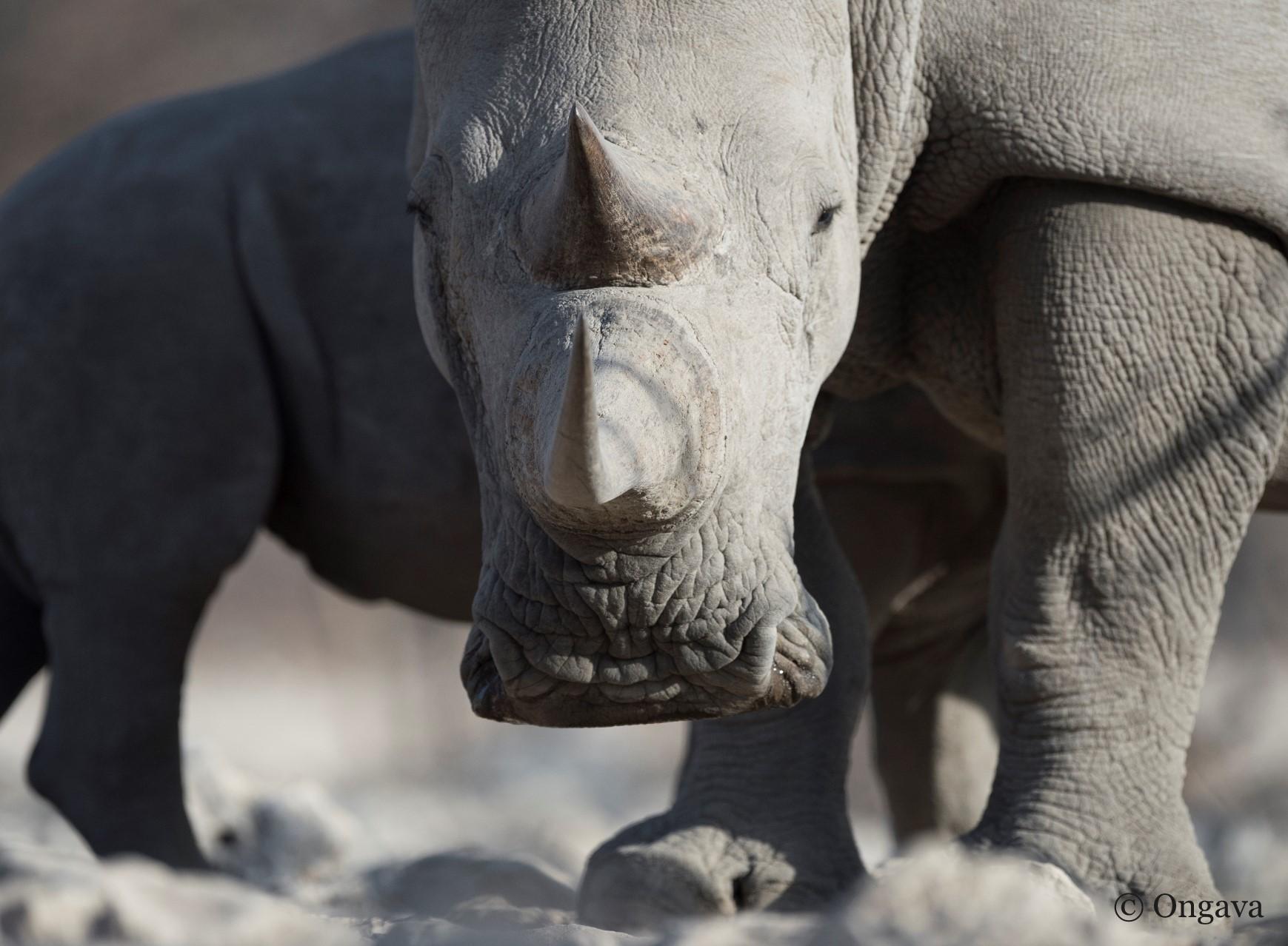 Rhino at Ongava Reserve