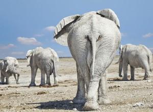 White elephants of Etosha National Park
