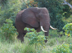 Elephant in Selous