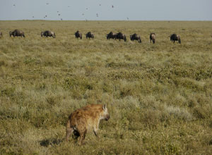 Hyena stalking wildebeest