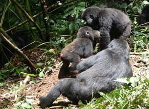 On a gorilla trek