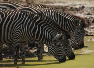 Zebra near Kafunta River Lodge